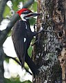 Pileated Woodpecker (4342547746).jpg