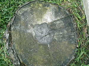 Boreal (age) - Pine tree rings
