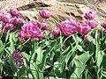 Pink tulips at the Spring Flower Ball in Kharkiv 2.jpg