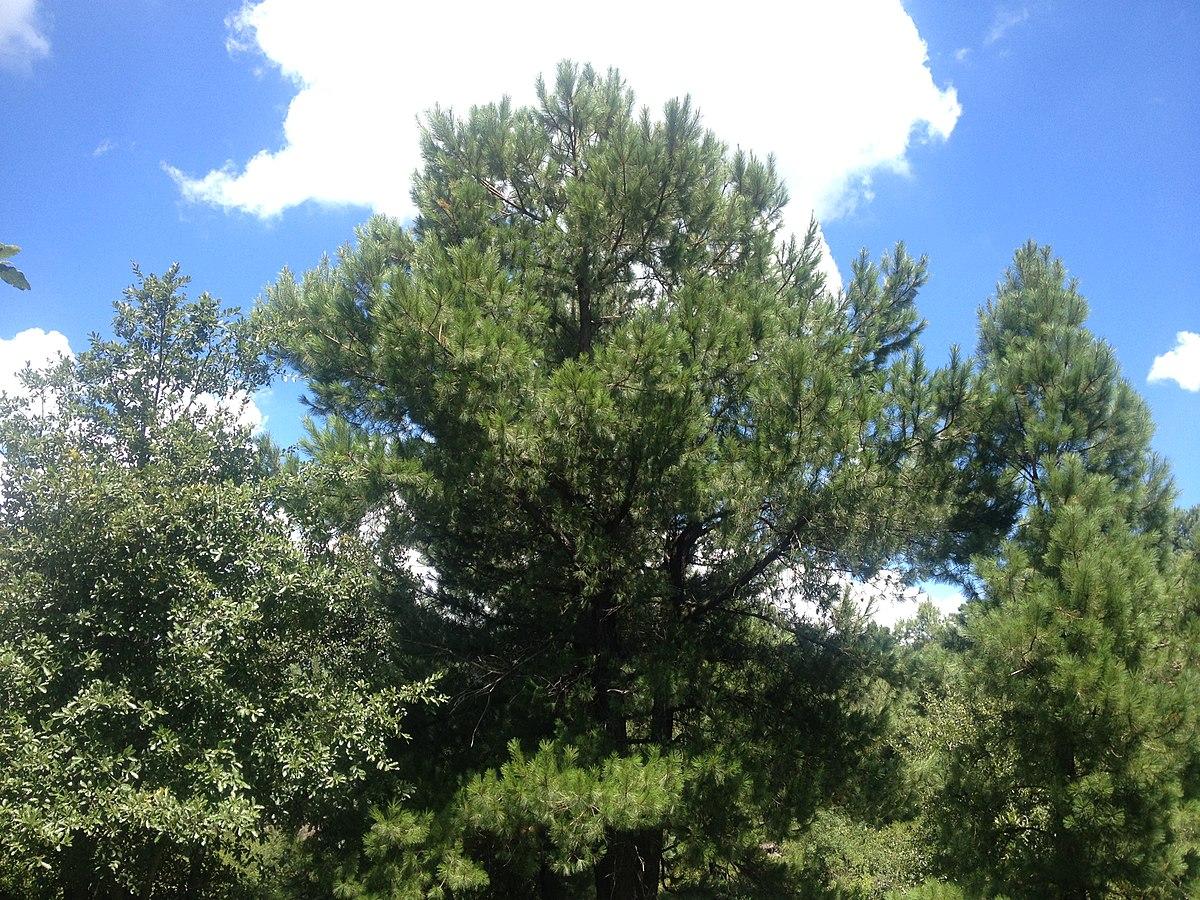 Bosque de pinoencino Puebla  Wikipedia la enciclopedia libre