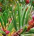 Pinus albicaulis pollen cones-crop1.jpg