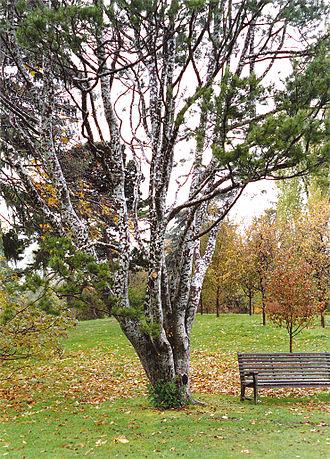 Pinus bungeana - Lacebark pine at Kew Gardens, London, England