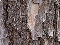 Pinus echinata bark.jpg