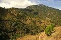 Pinus kesiya forest1 MtUgo.jpg