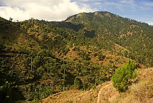 Luzon tropical pine forests - Pine forest in Benguet
