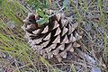 Pinus sabiniana cone Pinnacles, California.jpg