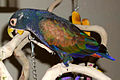 Pionus chalcopterus -pet on perch-6b.jpg