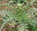 Plant complet d artichaut.jpg