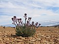 Plants between rocks on Teide - 005.JPG