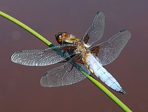 English: Broad-bodied Chaser (a dragonfly) Lib...
