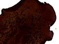 Pleioplana atomata (YPM IZ 073826).jpeg