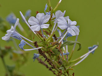 Plumbaginaceae - in Hyderabad, India.