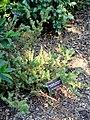 Podocarpus acutifolius - J. C. Raulston Arboretum - DSC06141.JPG