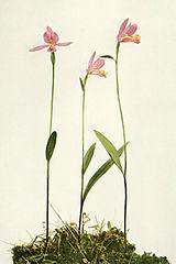 Pogonia ophioglossoides WFNY-040.jpg
