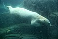 Polar Bear diving (8793386357).jpg