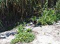 Polla d'aigua a la marjal del Senillar, Moraira.JPG