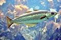 Pollachius pollachius aquarium.jpg