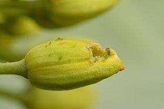 Pollen beetle damages (31827625271).jpg