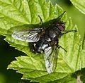 Pollenia sp. - Flickr - S. Rae (2).jpg