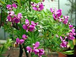 Polygala myrtifolia (flowers) - Botanischer Garten Bonn.jpg