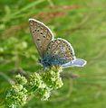 Polyommatus icarus. Common Blue Male. U-S - Flickr - gailhampshire.jpg