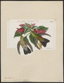 Polytmus saucerottii - 1820-1860 - Print - Iconographia Zoologica - Special Collections University of Amsterdam - UBA01 IZ19100173.tif