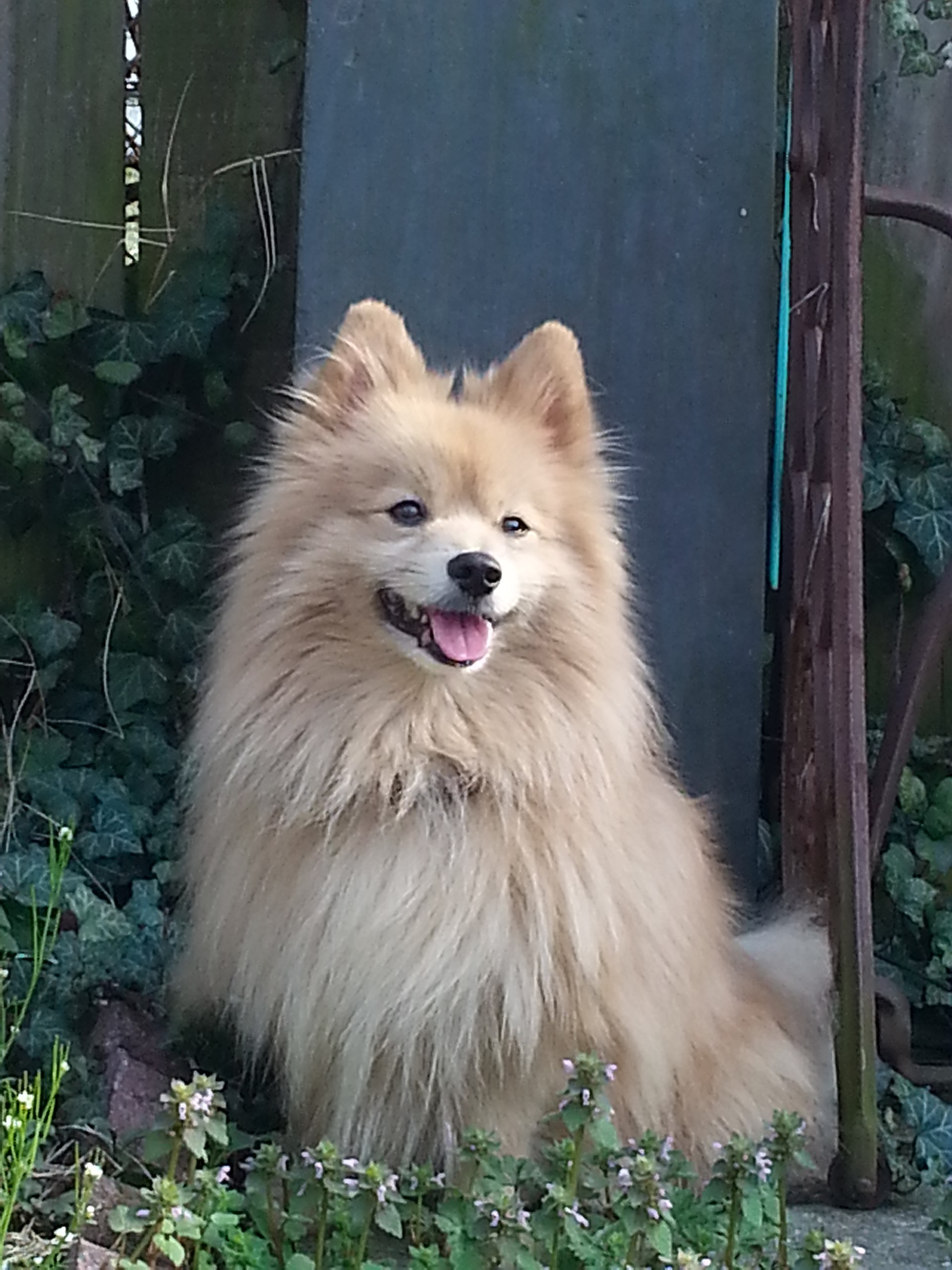 Pomeranian (dog) - Wikipedia