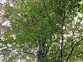 Pomnikowy buk w Parku Skaryszewskim 4.jpg