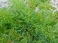 Portenschlagiella ramosissima 2017-04-20 8208.jpg