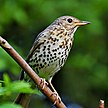 Posing song thrush cropped.jpg
