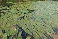 Potamogeton nodosus kz01.jpg