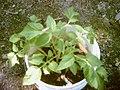 Potato-leaf.jpg
