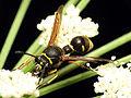 Potter Wasp (15189006016).jpg