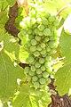 Pre veraison Gewürztraminer grapes.jpg