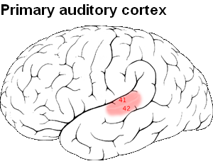 Auditory system - Image: Primary auditory cortex
