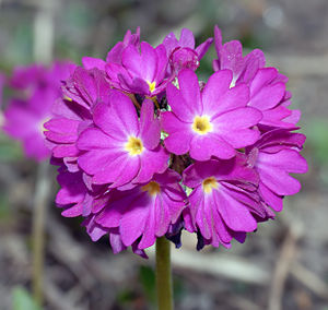 This image shows a Drumstick primula (Primula ...