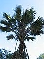 Pritchardia maideniana (4761582569).jpg
