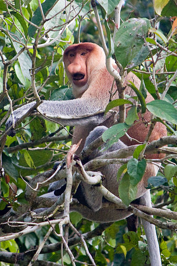 English: A male Proboscis monkey. Photo taken ...