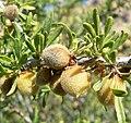 Prunus fasciculata 4.jpg