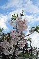 Prunus subhirtella Autumnalis 11zz.jpg
