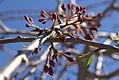 Prunus subhirtella Pendula 4zz.jpg