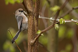 Psaltriparus minimus nest material