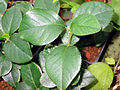 Pseudocydonia leaves.jpg