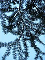 Pseudolarix amabilis Modrzewnik chiński 2011-06-23 03.jpg
