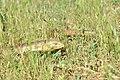 Pseudopus apodus 02.jpg