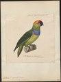 Psittacula desmaresti - 1825-1838 - Print - Iconographia Zoologica - Special Collections University of Amsterdam - UBA01 IZ18600155.tif