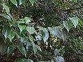 Psydrax umbellata (Wight) Bridson (16146214281).jpg