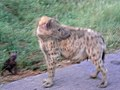 Pup and hyena (393933739).jpg