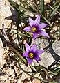 Purple Flower (6810141166).jpg