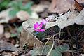 Purple anemone hepatica.jpg